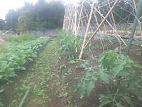 中玉トマト
