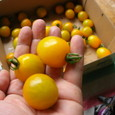 イエローミミ トマト