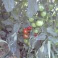 フルーツ中玉トマト レッドオーレ