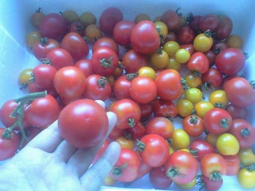 各種 フルーツトマト