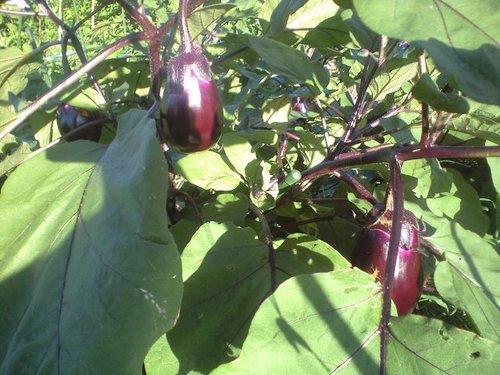サラダ紫ナス