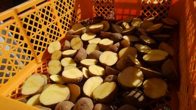 ジャガイモ植え付け前半