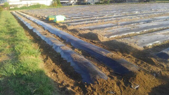里芋の植えつけが終わった