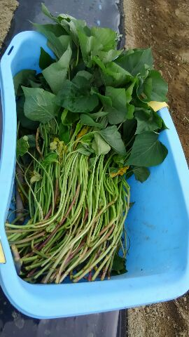サツマイモ苗植えつけー