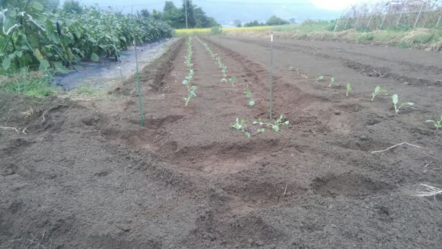 カリフラワー植えました&ニンジン発芽