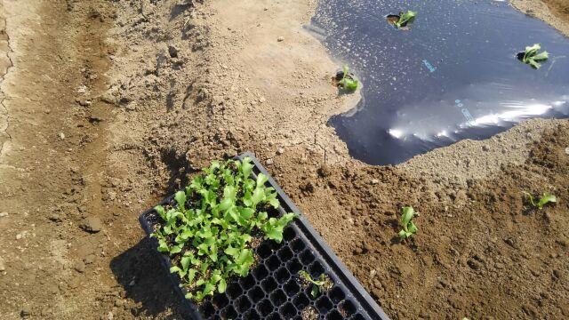 丸レタスを植え付け