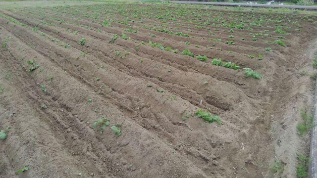 ジャガイモ土寄せ完了