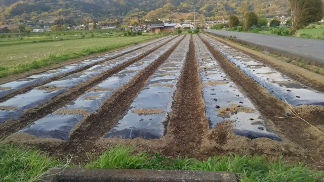 里芋を種芋の植え付け中
