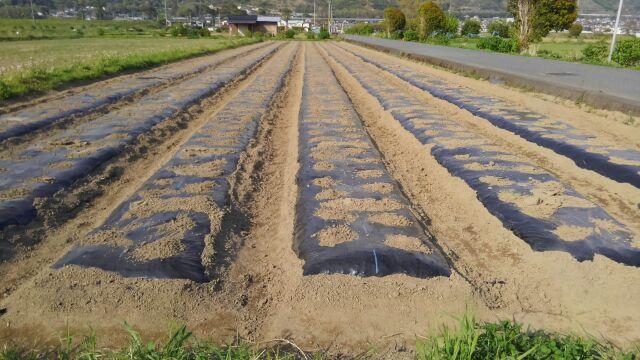 里芋植え付け完了