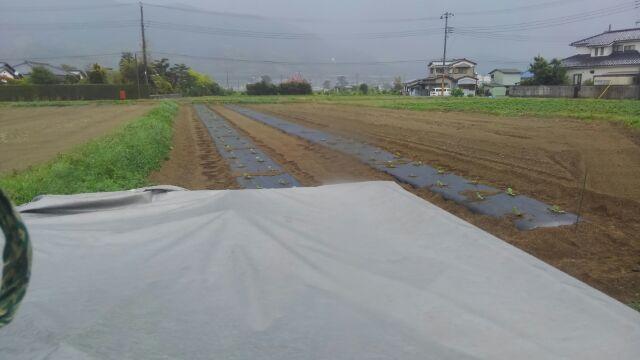 ズッキーニ植え付けは雨