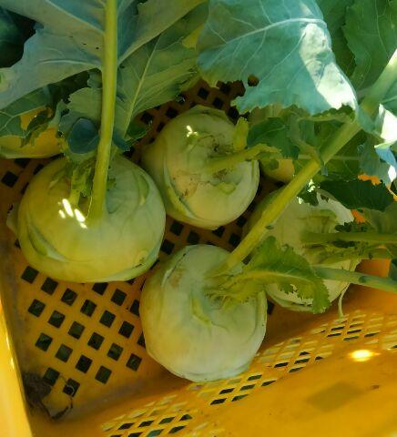 珍野菜のコールラビ