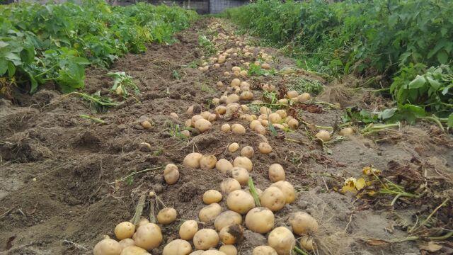 ジャガイモ祭り開催中