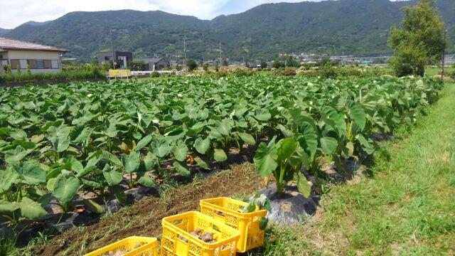里芋に追肥と草取り、中耕