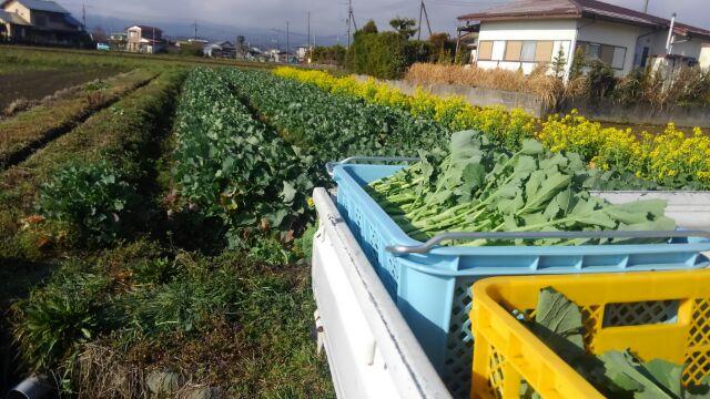 のらぼう菜 最盛期