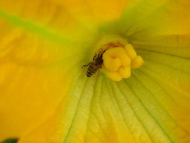 ズッキーニの花にミツバチ